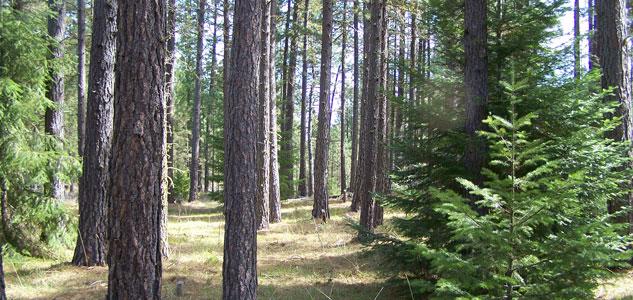 Stewardship-Pine-Forest